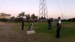 Intermediate Obedience Training Los Angeles & San Diego | Sandlot K9 Services