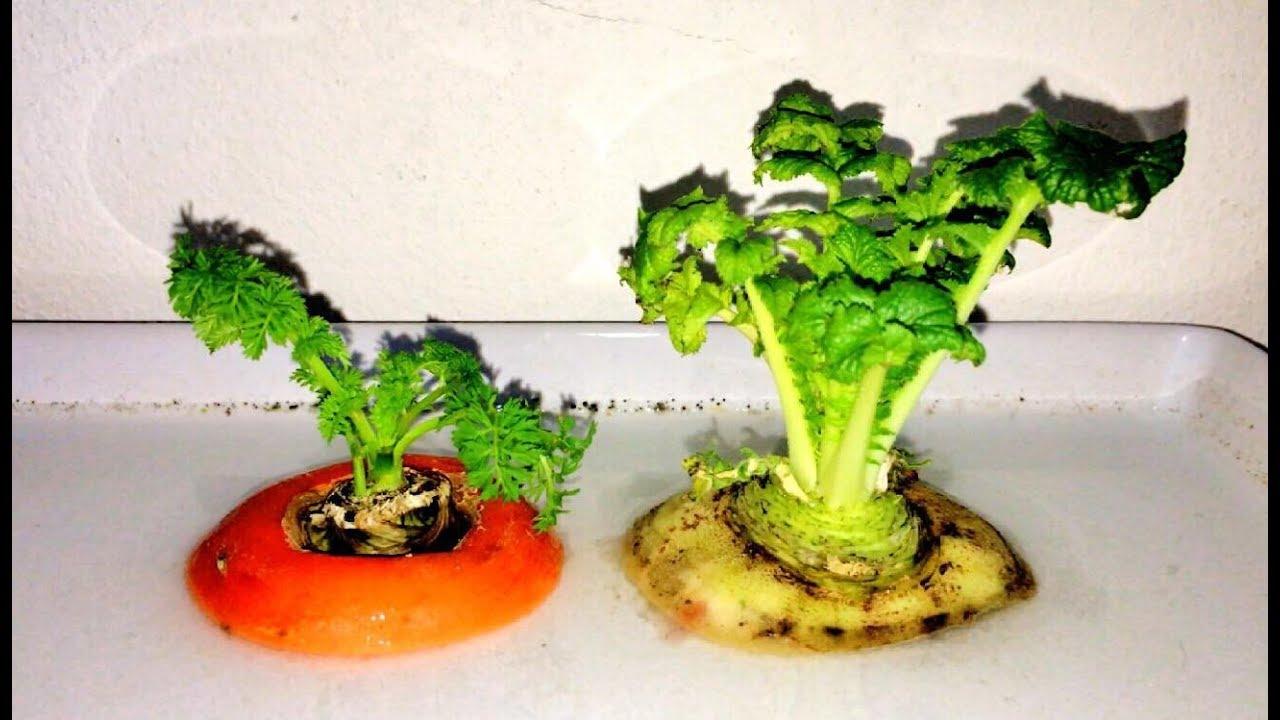 วิธีปลูกผัก จากส่วนที่เหลือทิ้ง 1/How to grow vegetables from from kitchen scraps 1/如何从厨房废料中种植蔬菜 1