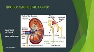 Мочевыделительная система. 1. Строение почек. Особенности кровоснабжения почек