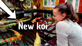 DIY KOI POND---NEW KOI A STUNNER OF A FISH***BREEDER MOMOTARO***