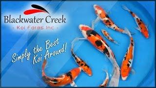 Blackwater Creek Koi Fish for Sale