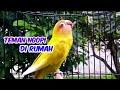 Suara Pancingan Lovebird Fighter Gacor  Mp3 - Mp4 Download