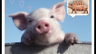 Искусственное осеменение свинки