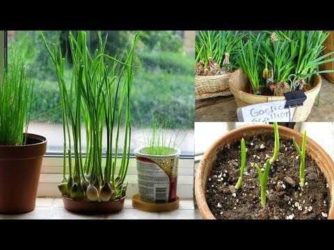 Stop Buying Garlic  Here's How To Grow An Endless Supply Of Garlic Right At Home