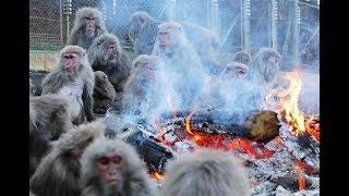 愛知県犬山市の日本モンキーセンターで21日、「たき火にあたるサル」...