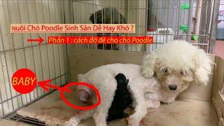 Phần 1 : Cách Đỡ Đẻ Cнo Chó Poodle || Nuôi Chó Poodle Sinh Sản Dễ Hay Khó ?