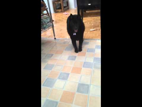 Schipperke cannot cope with meeting his first rollerskate. Our dog Ohgr overreacting (for a change).