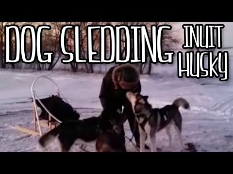 Siberian / Inuit Huskies Sledding, Dog Sledding, 2016, Canadian Huskies.