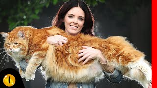 TOP 10 BIGGEST CAT BREEDS