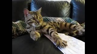 Bengal cat Harry BENSUN - Бенгальские коты - http://www.bensun.ru/