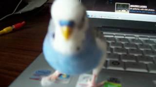 Говорящий попугай Кеша (новое видео) talking parrot http://vk.com/club17245908