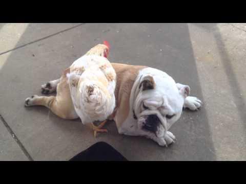 Cute Bulldog gets a chicken back-scratch!