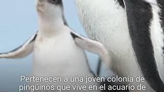 La conmovedora historia de una pareja de pingüinos gais que ha adoptado un polluelo