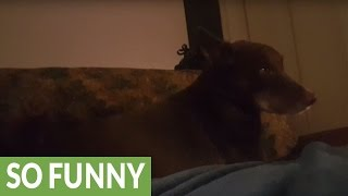 Dog argues with owner about sofa rights