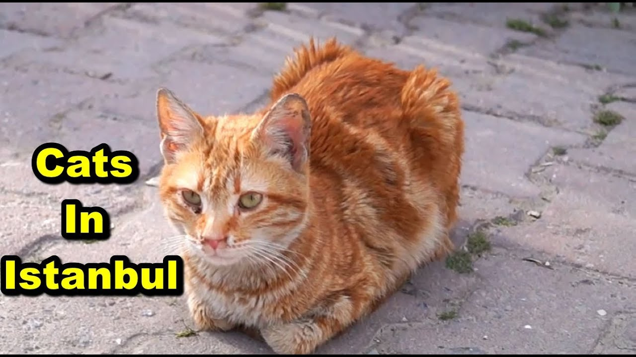 Youtube Istanbul Cats