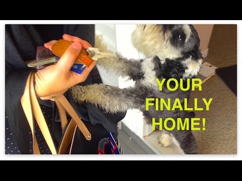 Schnauzer Puppy Flips Out in the Funniest Way When Owners Come Home