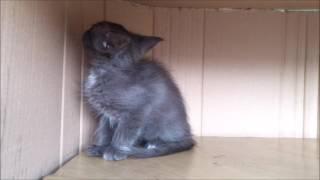 Котенок дымчатый девочка Красноярск