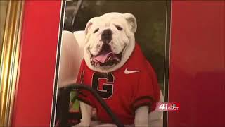 Georgia mascot enjoys celebrity lifestyle in Athens