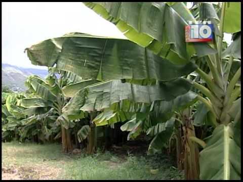 Cultivo de Plátano