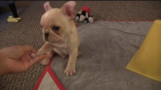 French Bulldog Puppy Tricks 12 wks old Brody Brixton