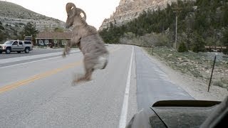 "Bighorn Sheep ATTACKS Vehicle - (""Bam Bam"" is DEAD).wmv"