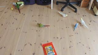 掃除は大変  可愛いからいっか   そしてミロモコに怒る飼い主   #セキセ...