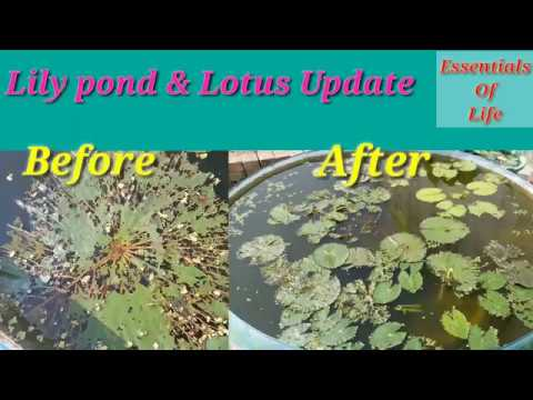 Water Lily Pond and Lotus Update || Essentials Of Life || 04 October 2018