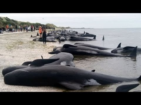 SPERM WHALES STRANDED ON INDONESIA BEACH