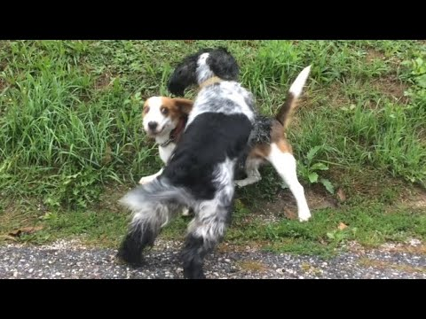 Beagle playing with Cocker Spaniel