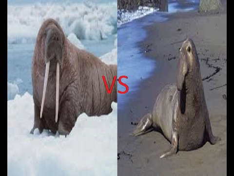 Walrus vs Southern Elephant Seal - YouTube