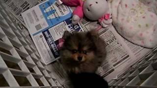 Pocket Baby Pomeranian Blackberry Candylandpoms.com Splash  Is A Blue Merle Pom Houston Texas