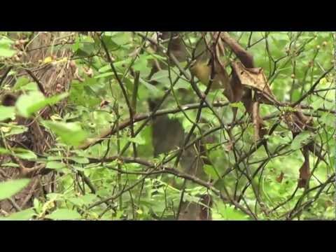 Worm-eating Warbler at Rockefeller State Park Preserve