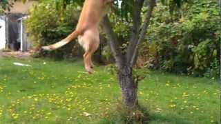 Golden Cocker Spaniel Stealing Pears.3gp