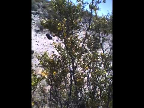 USA California Mojave National Preserve April 18 2015 Shrub with annuals removed 4