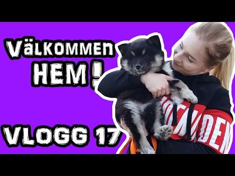 VLOGG | Finsk lapphund!