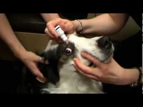 Vet In Calgary Shows How To Clean A Dogs Eyes Safely And Ly Medication The Eye