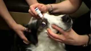 Vet in Calgary shows how to clean a dogs eyes safely and apply medication to the eye.