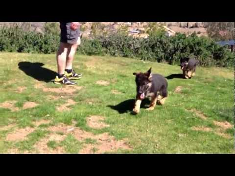 Top German shepherd import puppies for sale from Wustenberger-Land German Shepherds