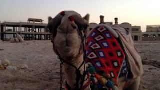 touristic camel rest desert sharm el sheikh