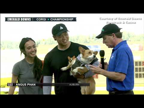 Corgi races may be the cutest thing ever