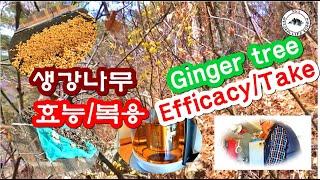 생강나무효능,복용/Ginger tree efficacy…