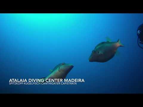 Tauchen Madeira, Atalaia Diving Center, Spitzkopf Kugelfisch