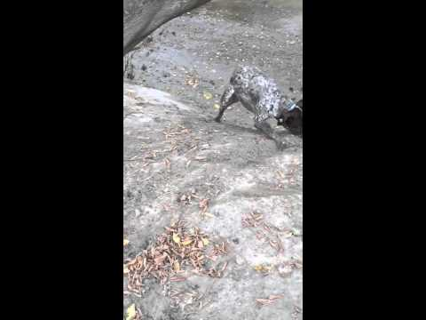 Maverick - a crazy German Shorthaired Pointer in slo-mo