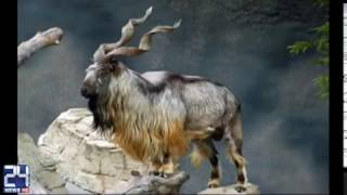 National Animal of Pakistan 'Markhor' in Danger