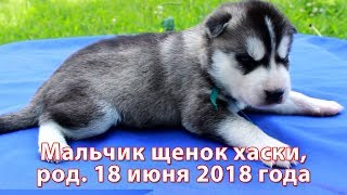Предлагаем мальчика щенка хаски, родился 18 июня 2018 года