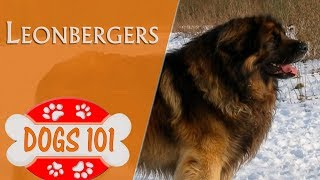 Dogs 101  LEONBERGER  Top Dog Facts About the LEONBERGER