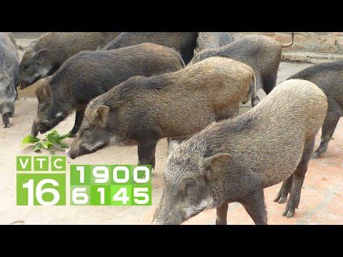 Lợn rừng giống chuẩn gồm các đặc điểm nào?   VTC16   Foci