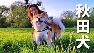 AKITA INU  A Day In The Life Of A Japanese Dog | Happy Mother's Day | 秋田犬