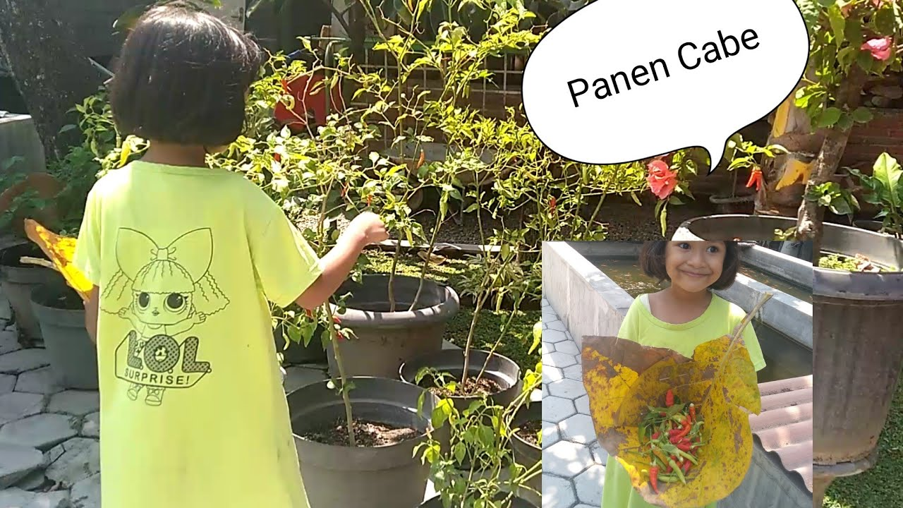 Rahma & Bila Picking Chilli (Cayenne Pepper) in the Garden | Rahma & Bila Panen Cabe di Kebun