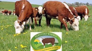 HerefordWarmia - bydło mięsne